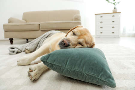 Yellow labrador retriever with pillow lying on floor indoors