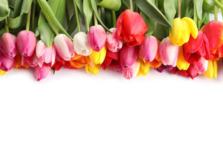 Beautiful bright tulips on white background, top view. Spring flowers