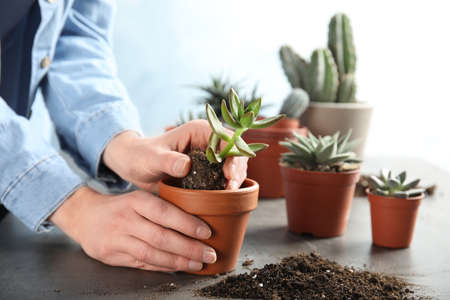 Woman transplanting home plant into new pot at table, closeup Standard-Bild