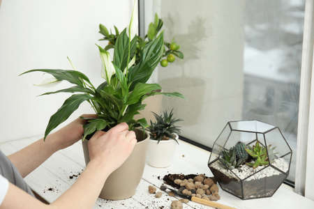 Woman transplanting home plant into new pot on window sill, closeup