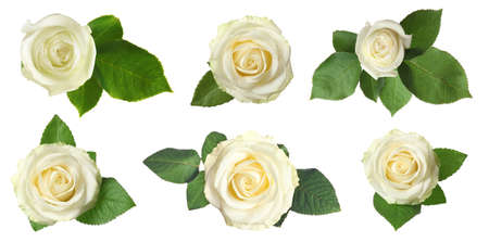 Set of beautiful tender roses with leaves on white background, top view