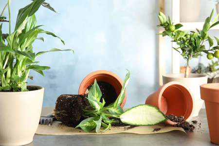 Home plants and empty pots on table indoors. Transplantation process Stock Photo