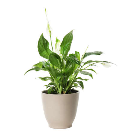 Pot avec plante d'accueil Spathiphyllum sur fond blanc