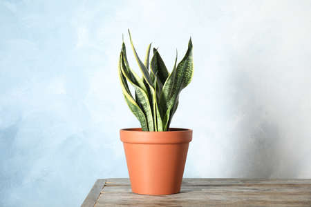 Beautiful sansevieria plant in pot on table near color wall. Home decor