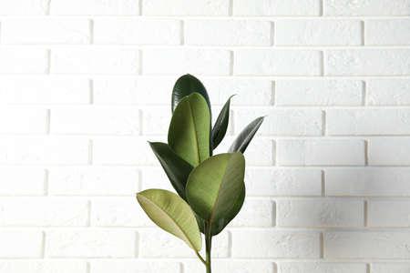 Beautiful rubber plant near brick wall. Home decor