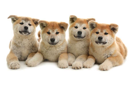 Cute akita inu puppies isolated on white