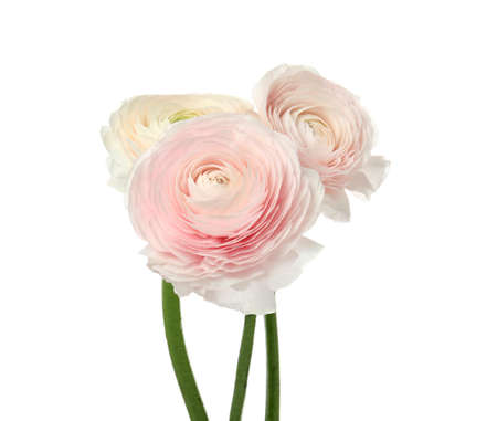 Beautiful spring ranunculus flowers isolated on white