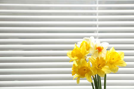 Beautiful narcissus flowers near window with blinds. Space for text 免版税图像