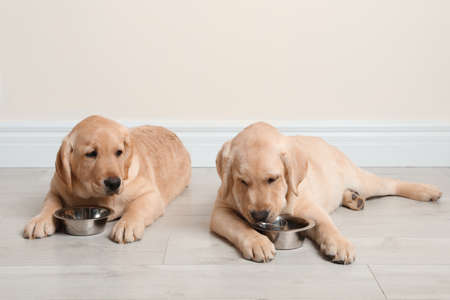 Cute yellow labrador retriever puppies with feeding bowls on floor indoors. Space for text Reklamní fotografie