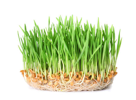 Fresh sprouted wheat grass isolated on white background Stockfoto