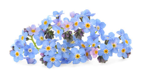 Amazing spring forget-me-not flowers on white background