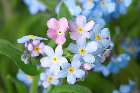 Amazing spring forget-me-not flowers as background, closeup view Stock Photo