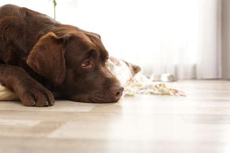 Chocolate labrador retriever on pet pillow indoors