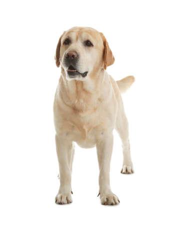 Yellow labrador retriever standing on white background Imagens