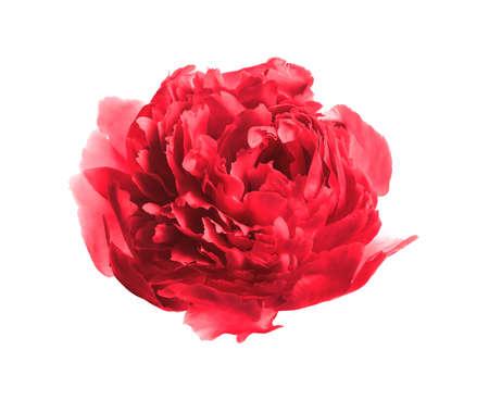 Beautiful tender peony on white background. Fragrant spring flower Stock Photo