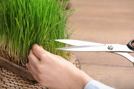 Woman cutting sprouted wheat grass with scissors at table, closeup