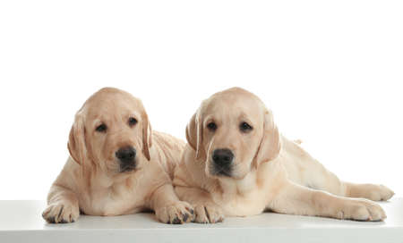 Cute yellow labrador retriever puppies isolated on white
