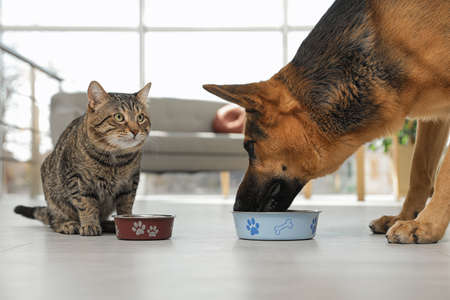Tabby cat and dog eating from bowl on floor indoors. Funny friends Archivio Fotografico