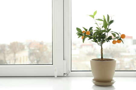 Potted citrus tree on windowsill indoors. Space for text