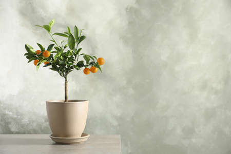 Citrus tree in pot on table against grey background. Space for text