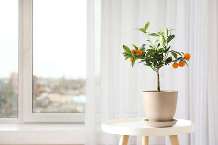 Potted citrus tree on table near window indoors. Space for text