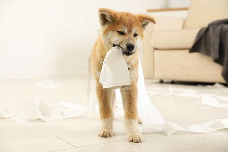 Lindo cachorro de akita inu jugando con papel higiénico en el interior