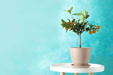 Agrumes en pot sur table sur fond de couleur. Espace pour le texte