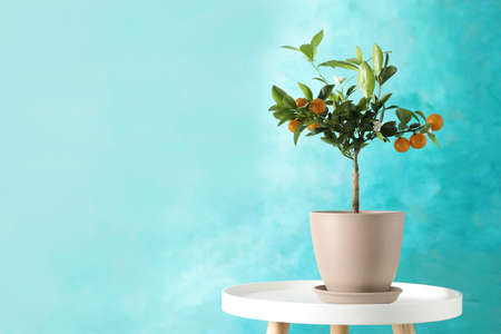 Citrus tree in pot on table against color background. Space for text