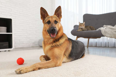 German shepherd with ball on floor and cat on sofa in living room