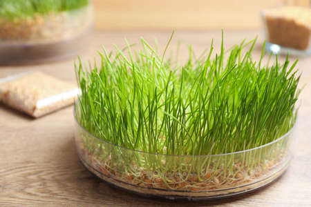 Container with sprouted wheat grass on wooden table