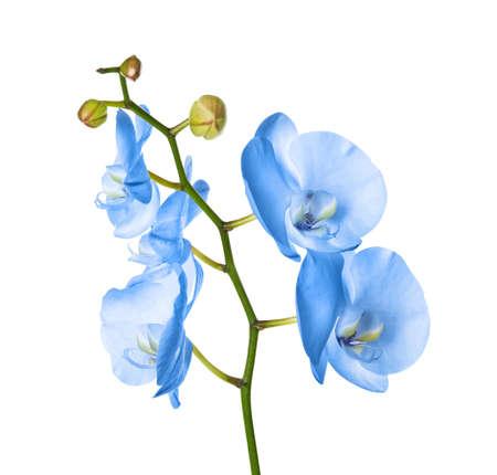 Bella orchidea blu brillante su sfondo bianco