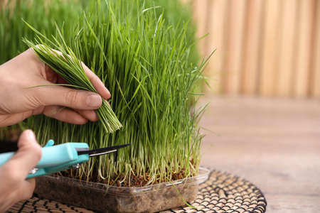 Woman cutting sprouted wheat grass with pruner at table, closeup. Space for text Stockfoto