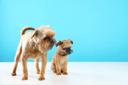 Studio portrait of funny Brussels Griffon dogs on color background. Space for text
