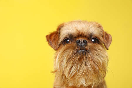 Studio portrait of funny Brussels Griffon dog looking into camera on color background Stock Photo