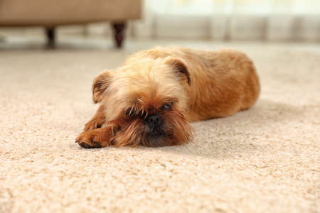 Portrait of funny Brussels Griffon dog lying on carpet at home