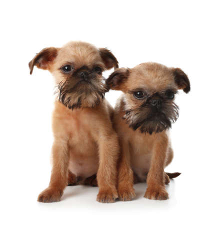 Studio portrait of funny Brussels Griffon dogs looking into camera on white background