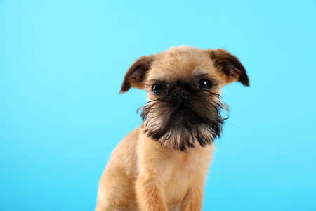 Studio portrait of funny Brussels Griffon dog on looking into camera color background Stock Photo