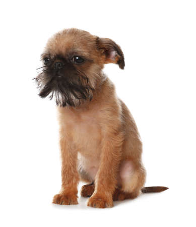 Studio portrait of funny Brussels Griffon dog on white background Stock Photo