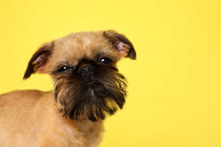 Studio portrait of funny Brussels Griffon dog looking into camera on color background. Space for text Banco de Imagens