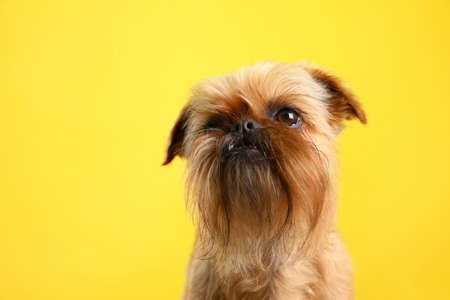 Studio portrait of funny Brussels Griffon dog on color background Stock Photo