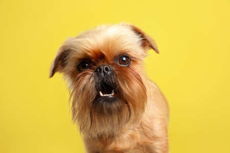 Studio portrait of funny Brussels Griffon dog looking into camera on color background 版權商用圖片