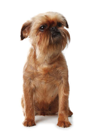 Studio portrait of funny Brussels Griffon dog looking into camera on white background