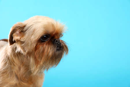 Studio portrait of funny Brussels Griffon dog on color background. Space for text