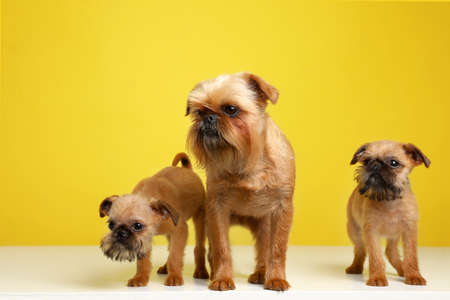 Studio portrait of funny Brussels Griffon dogs on color background Stock Photo