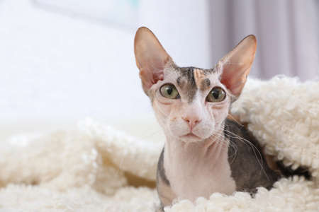 Adorable Sphynx cat looking into camera at home, space for text. Cute friendly pet Imagens