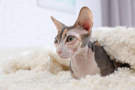 Adorable Sphynx cat under blanket on sofa at home, space for text. Cute friendly pet Imagens