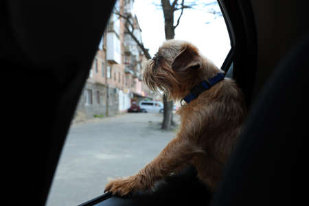 Adorable little dog looking out from car window. Exciting travel