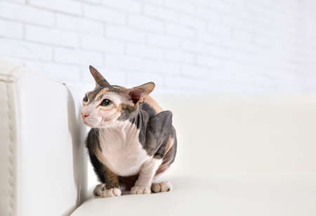 Adorable Sphynx cat on sofa at home, space for text. Cute friendly pet