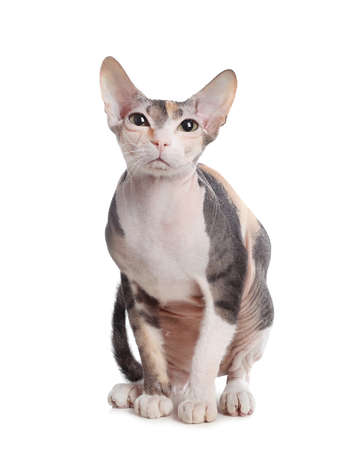 Adorable Sphynx cat on white background. Cute friendly pet Imagens