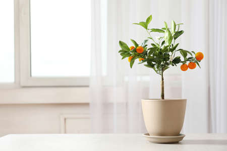 Potted citrus tree on table near window indoors. Space for text Standard-Bild - 124990498